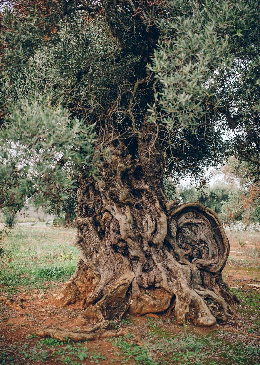 Este olivo de Ugento, Puglia, —al que los lugareños llaman «l'Orecchio» por su distintivo tronco— tiene más de mil años de antigüedad