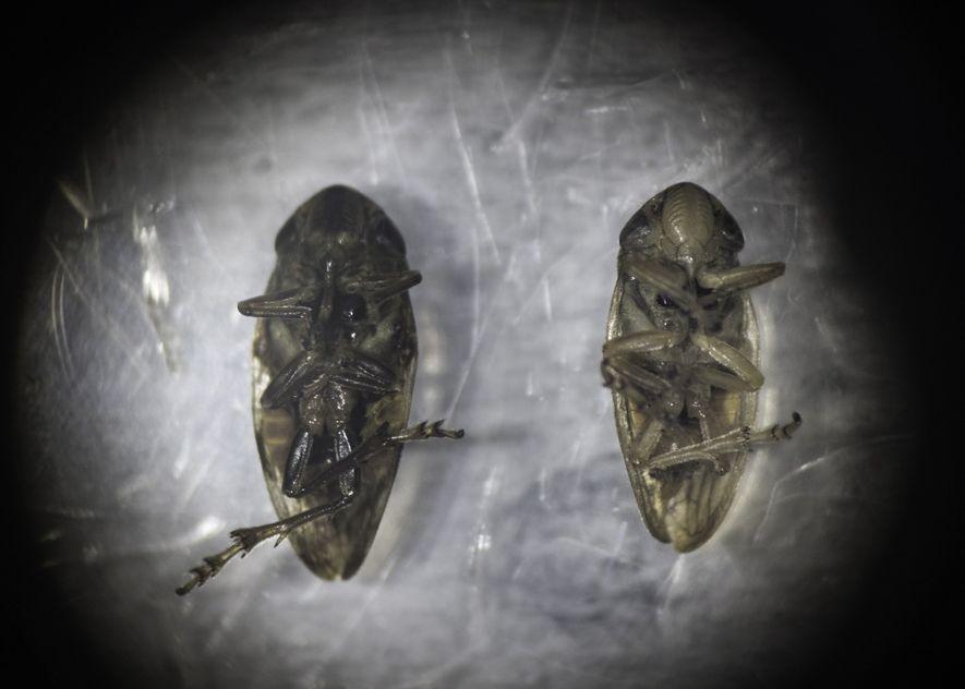 Un cercopoideo hembra (derecha) y macho (izquierda) bajo un microscopio en el Consejo Nacional de Investigación (CNR, por sus siglas en italiano) de Italia en Bari.