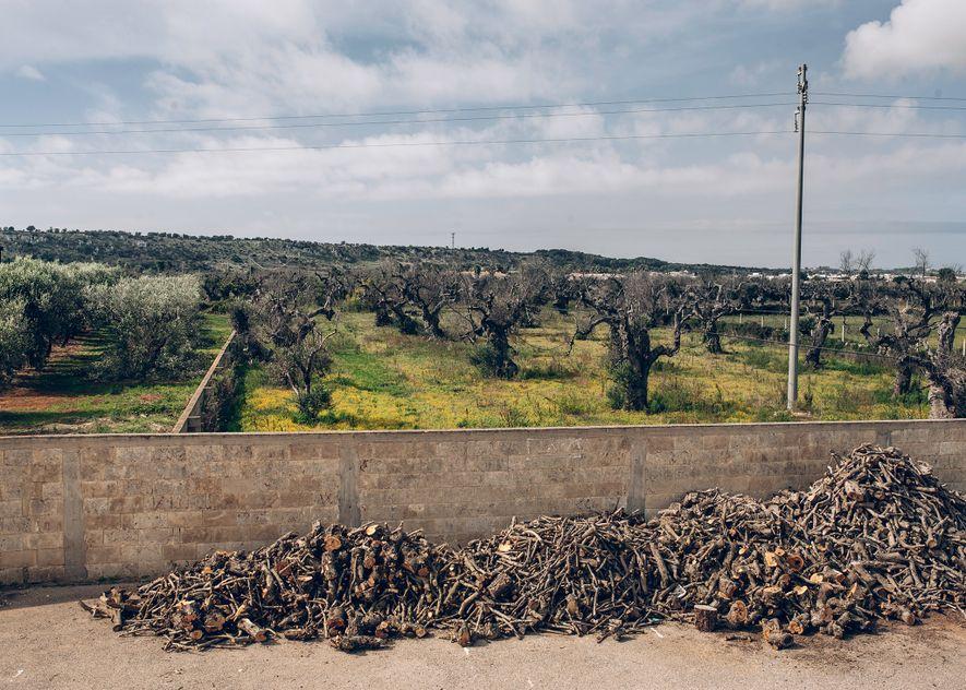 Montones de madera cortada de árboles infectados se secan frente a la fábrica de aceite de oliva de Renato Adamo en Felline. Los olivareros suelen colocar fuera los despojos de los árboles para que se sequen y usarlos como leña, pero ahora también tienen que quemar la madera infectada para evitar que la bacteria se extienda.