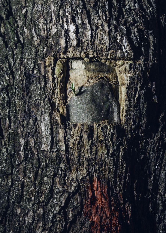 No se conoce ninguna cura para la Xylella, pero los olivareros suelen probar remedios caseros en un intento por salvar sus árboles. Otras iniciativas incluyen injertar nuevos cultivares en árboles viejos, como el que vemos aquí, con la esperanza de encontrar árboles resistentes a la Xylella.