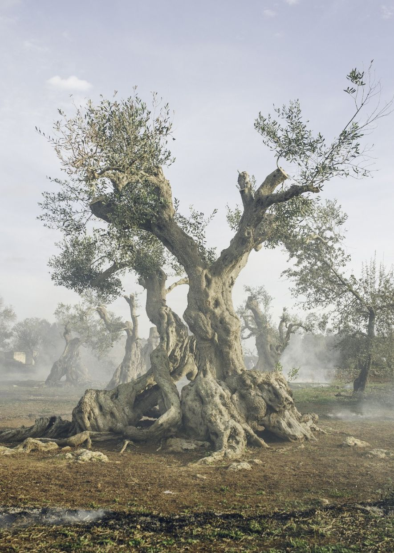 Otro árbol de Ugento ha vivido aquí durante más de 300 años, pero ahora está infectado por la Xylella.