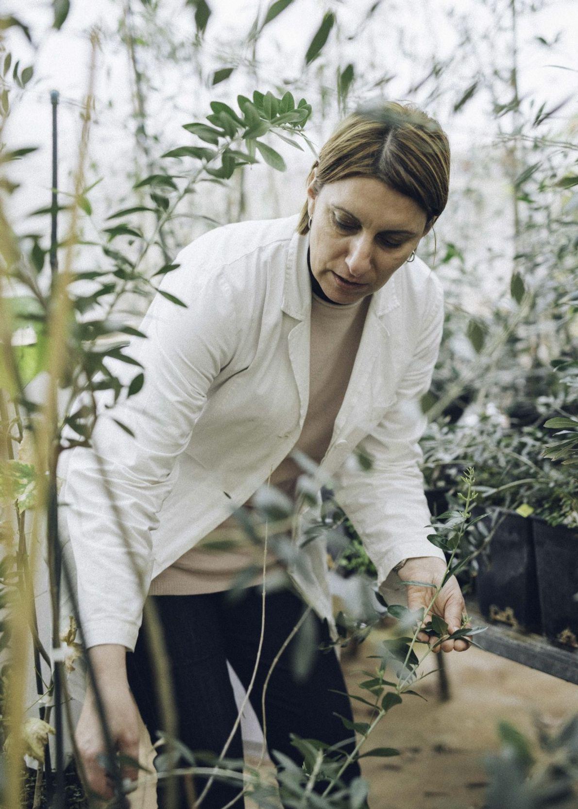 Maria Saponari, investigadora del CNR de Bari, estudia formas de combatir la Xylella.