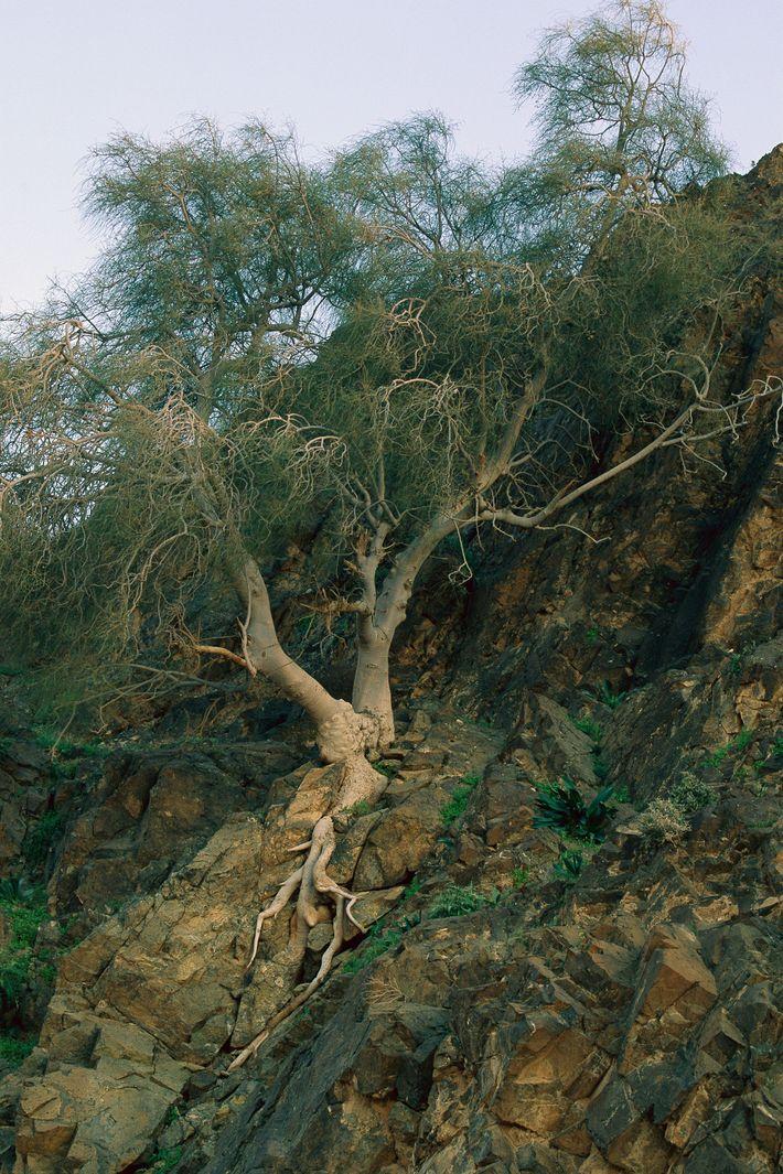 Moringa peregrina es un árbol en peligro de extinción en Jordania e Israel, donde la desertificación ...