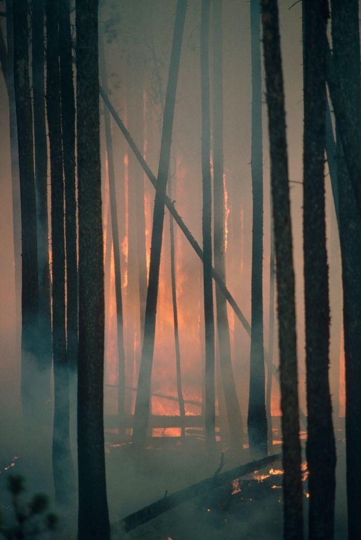 El bosque de Pino de Lodgepole arde en el Parque Nacional Yellowstone.