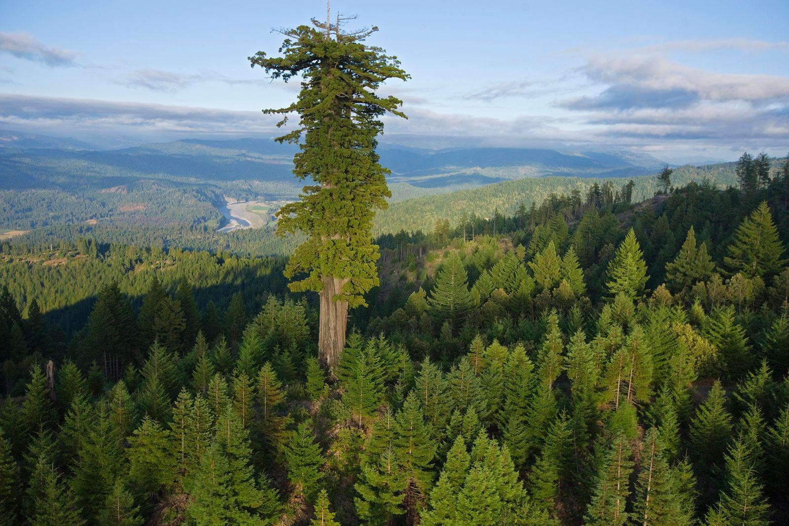 Los árboles más grandes y viejos del mundo están muriendo