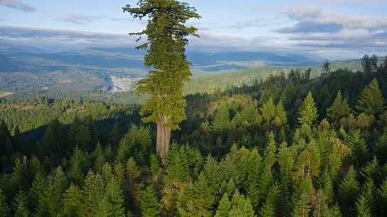 El árbol más grande de secuoyas que queda en Humboldt Redwoods State Park, California.