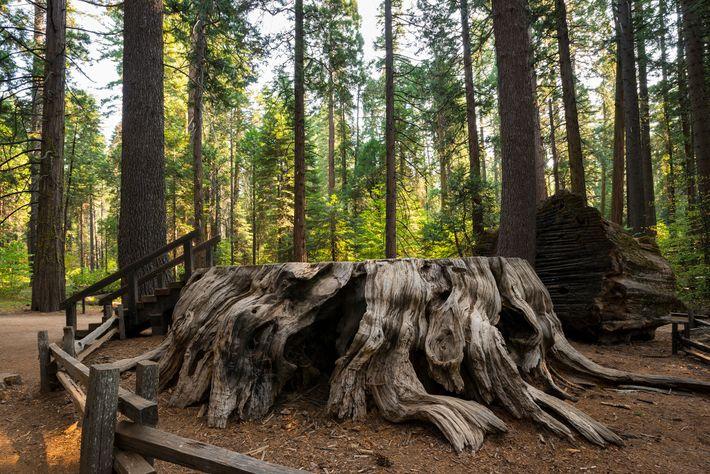 """El tocón de un árbol gigante de secuoya, conocido como el """"Discovery Tree"""", localizado en Calaveras ..."""