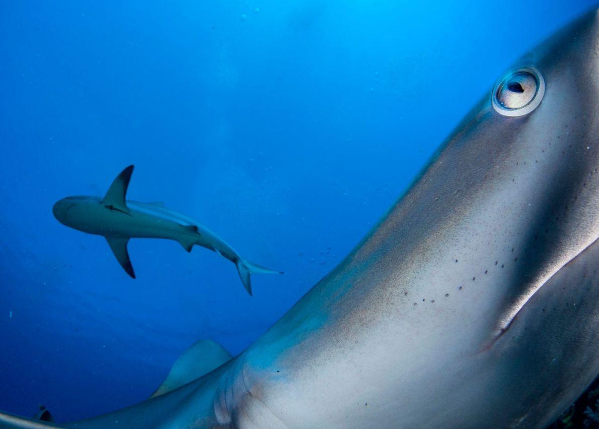 Gross logró un encuentro cercano con tiburones de arrecife del Caribe (que suelen ser tímidos), colocando ...