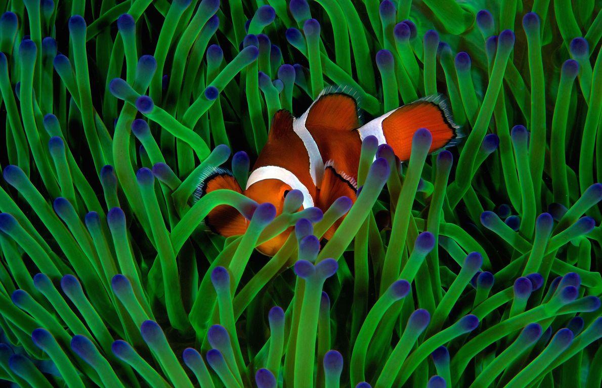 Muy cauteloso, para evitar molestar a esta falso pez anémona, Piper hizo foco en un punto ...