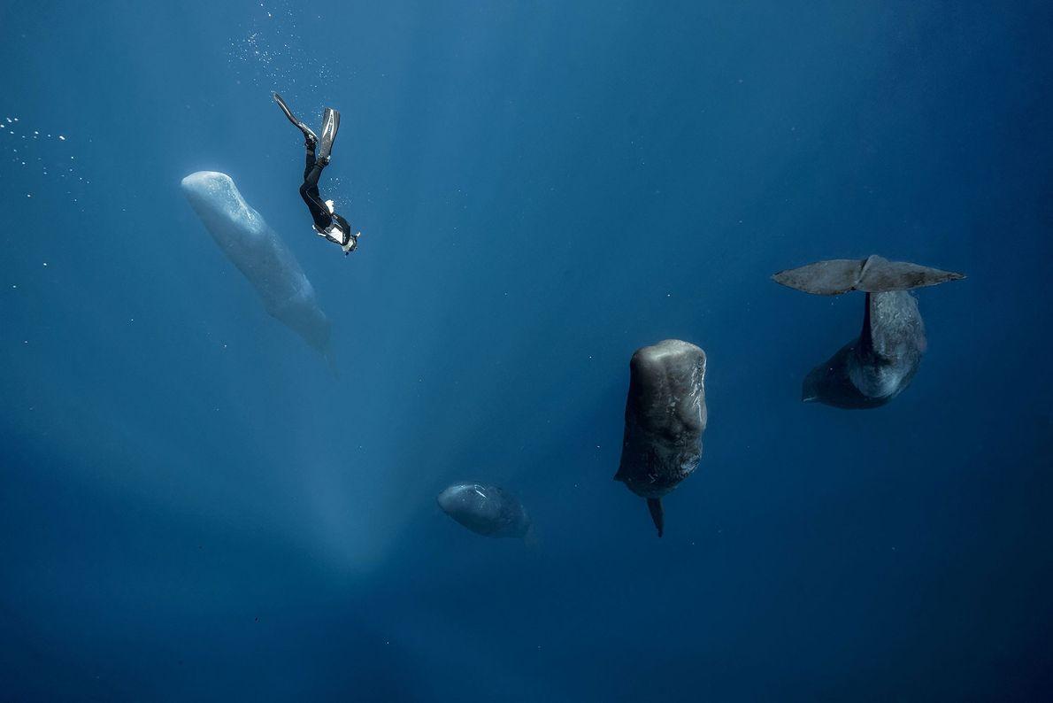 Los cachalotes duermen la siesta en posición vertical. En esta imagen de Guerin, se ve un ...