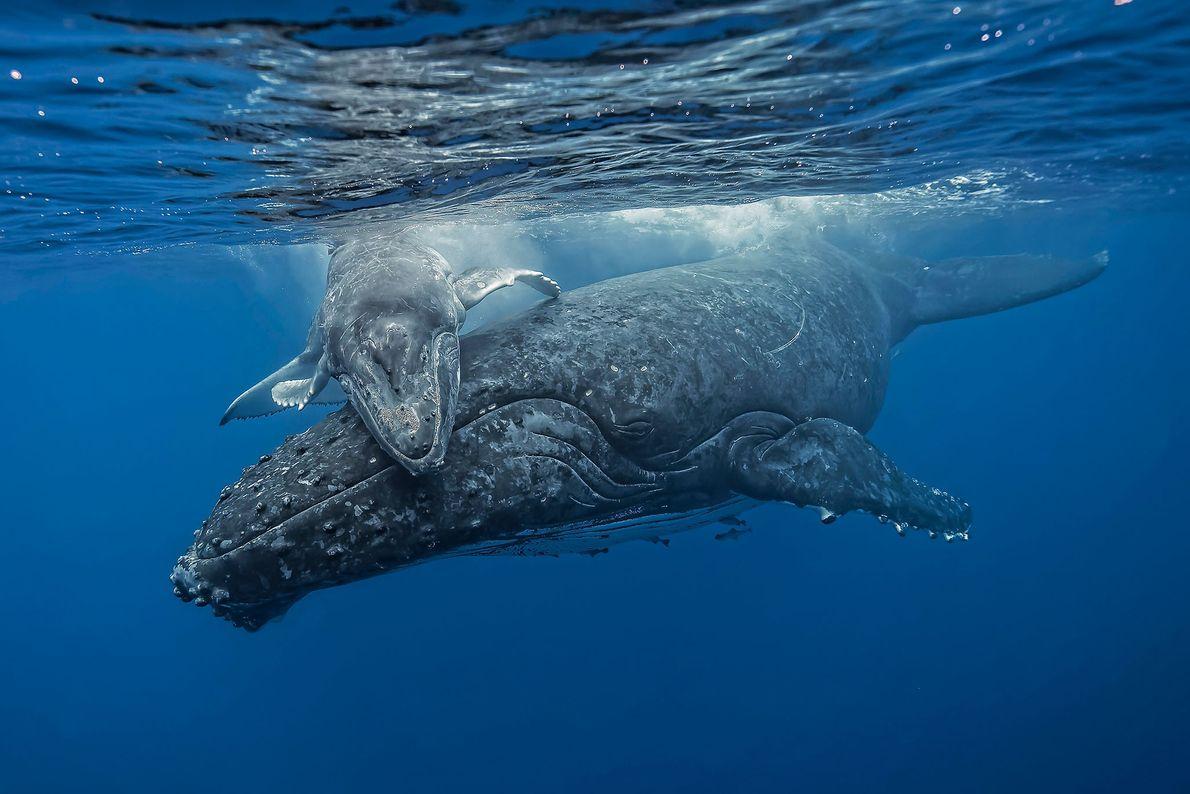 El fotógrafo Fabrice Guerin vio cómo jugaba esta cría de ballena jorobada mientras su madre lo ...