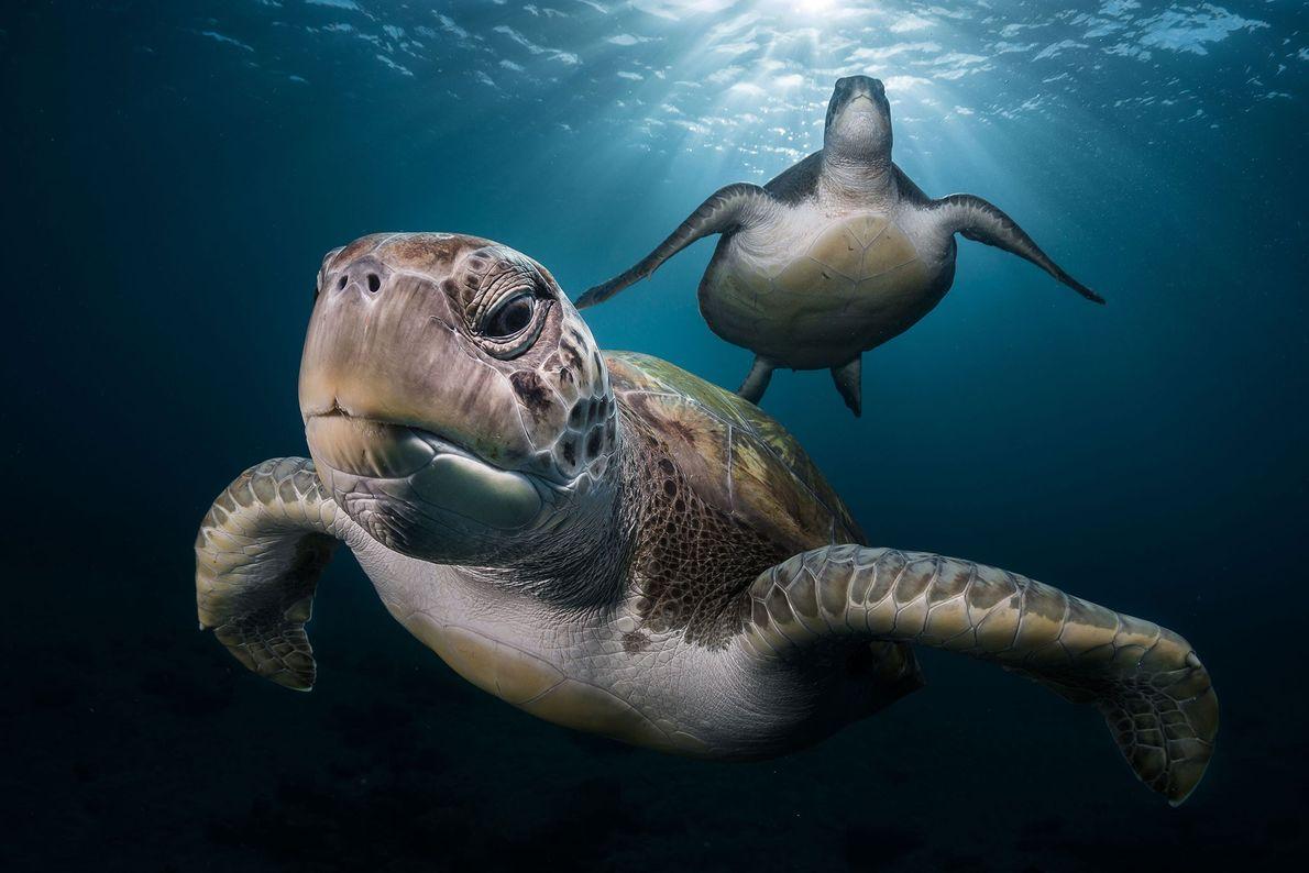 Lecoeur tuvo que esperar un largo tiempo hasta que esta tortuga verde se dejara tomar este ...
