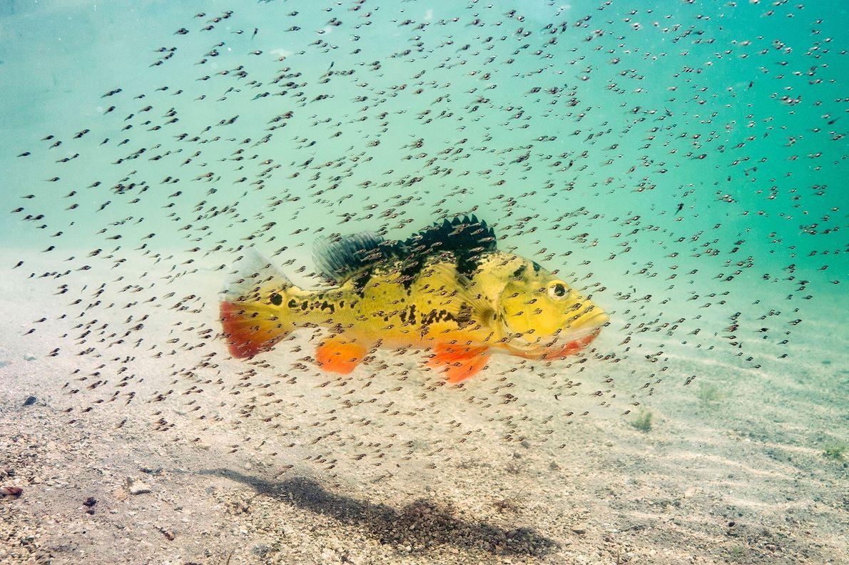 """Estas crías de tucunaré amarillo (""""Cichla monoculus"""") """"flotan alrededor de su madre para protegerse de los ..."""