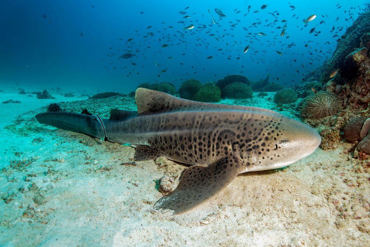 Tiburón cebra. Islas Dimaniyat, Omán.