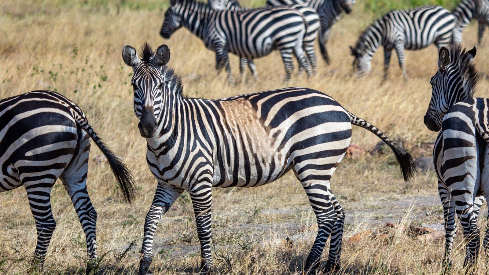 Una cebra de las llanuras con una mancha que desdibuja sus rayas, Parque Nacional Akagera de Ruanda en ...