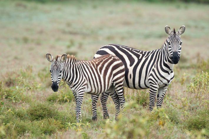 Los turistas del parque nacional Hell's Gate pueden ir en safaris en bici y ver manadas ...