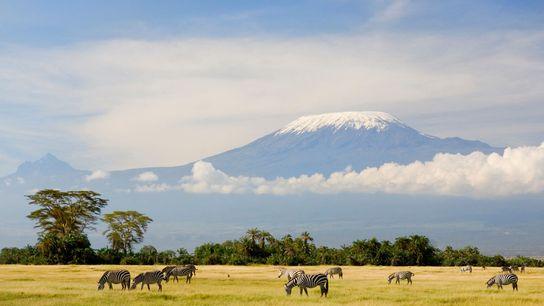 Las cebras se alimentan de hierba bajo el pico de la montaña más alta de África, ...