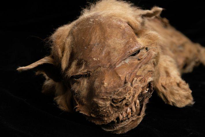 La asombrosa preservación del cachorro de lobo Zhur permite a los científicos estudiar las características físicas ...