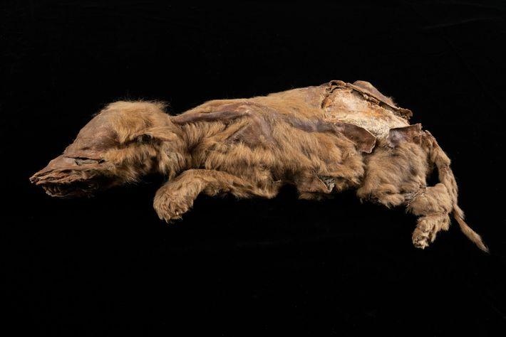 La joven loba gris, que tenía solo siete semanas cuando murió, pertenecía a una población que ...