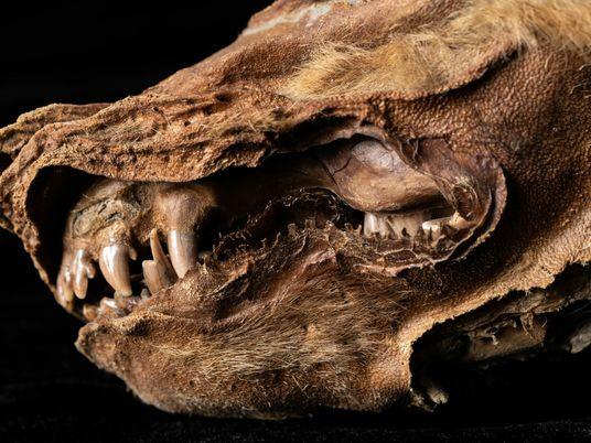 Encuentran a un cachorro de lobo de 57.000 años en el permafrost del Yukón