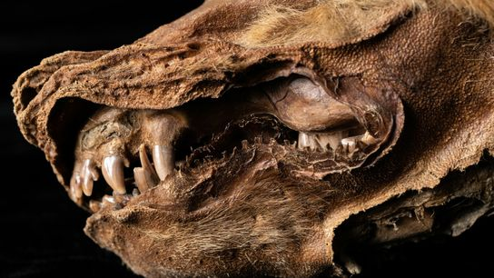 Se ha hallado un cachorro de lobo conservado en el permafrost en el territorio del Yukón, ...