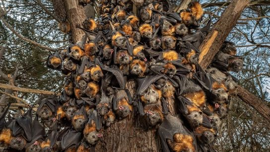 A finales de diciembre, decenas de zorros voladores de cabeza gris se agrupan para intentar sobrevivir ...