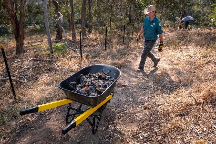 Stephen Brend, guarda del parque Yarra Bend, lleva una carretilla llena de zorros voladores muertos que ...