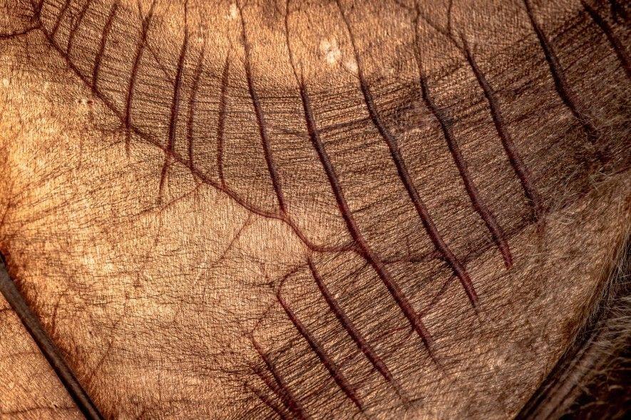 Este primer plano muestra el ala frágil y membranosa de un zorro volador de cabeza gris. ...