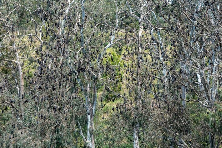 Los zorros voladores de cabeza gris cuelgan de los árboles del parque Yarra Bend. Unos 30 ...